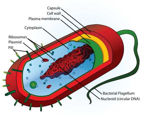Labeled diagram of bacterial cell structure by Mariana Ruiz.