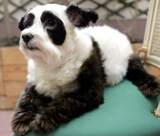 The Japanese Panda Dog
