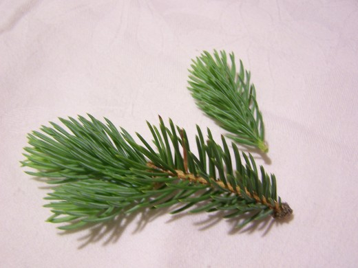 A pine branch from a spruce tree.