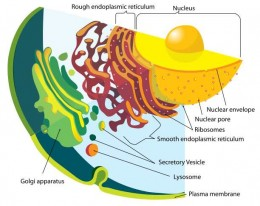 Labeled diagram of the eukaryotic endomembrane system. M. Ruiz.