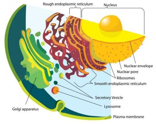 Labeled diagram of the eukaryotic endomembrane system. M. Ruiz.