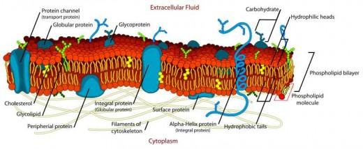 Labeled diagram of plasma membrane of biological cell. M. Ruiz.