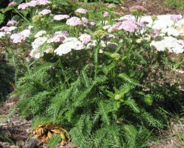 Yarrow.  The leaves and flowers are both useful.  They can be collected at any time, dried and stored for future use.
