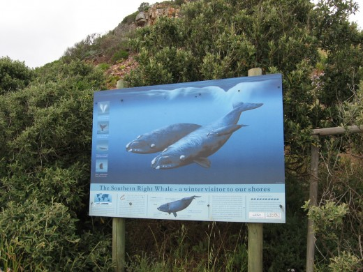 Southern Right Whale Information Sign