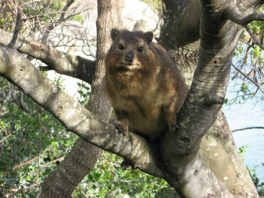 Roger, the Dassie in a tree at the Boulders Beach among the Penguins