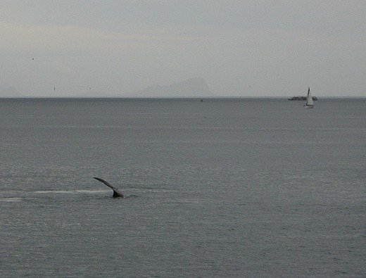 Whale in False Bay, near Simons Town, South Africa.  You have to be quick to photograph them!
