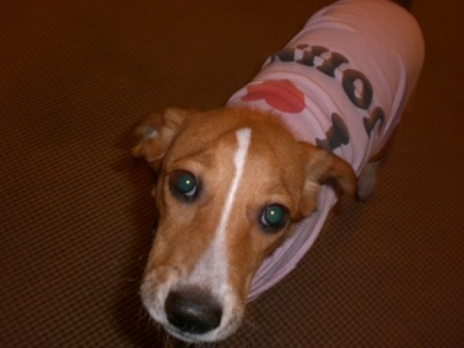 My dog, Prucha, in a shirt declaring that he loves his daddy.