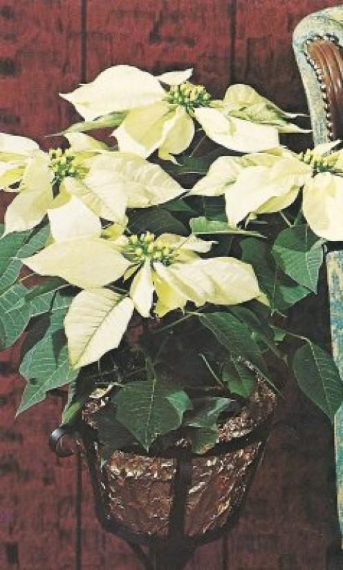 White euphorbia pulcherrima.