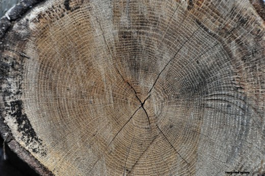 A cross-section of a piece of oak firewood not only shows its rings, but a crack in the shape of an X marks where it will be easiest to split.