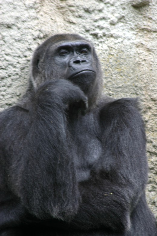 Female Gorilla, Detroit Zoo