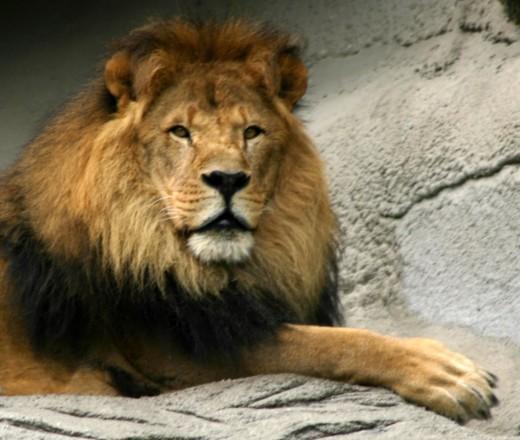 Simba, Detroit Zoo deedsphoto
