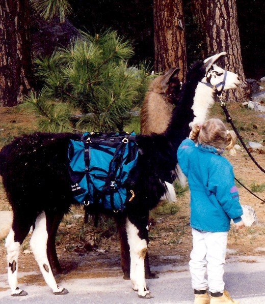 Llamas can be rented for use as pack animals when hiking in Yosemite