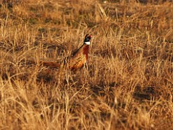 Pheasant Hunting Tips and Strategies