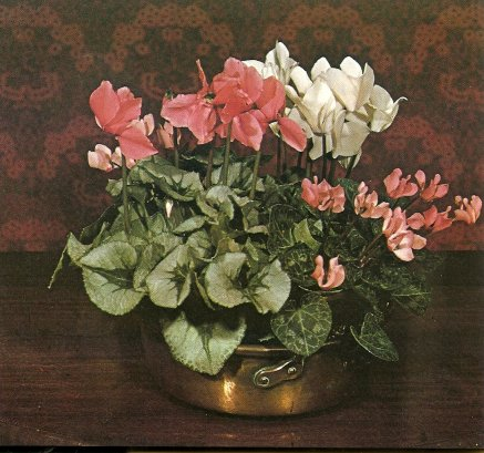 Three varieties of florist's Cyclamen (Cyclamen persicum).