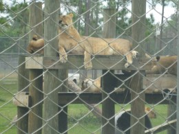 Lions at Lion Country Safari