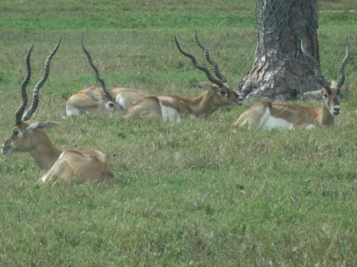 Blackbuck - one of the smallest members of the antelope family