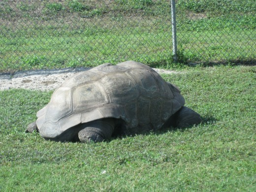 Aldabra Tortoise - shell can be up to 5' (this one was!) and can live wel past 100 years!
