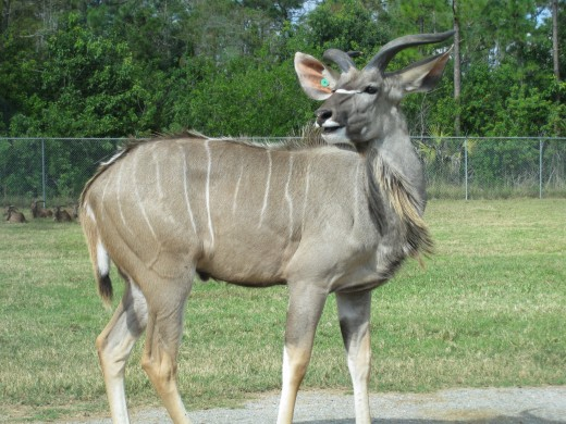Greater Kudu - 2nd largest antelope, weighing up to 690 pounds.