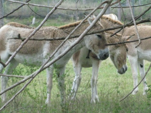 Kulan - short-legged, but can run up to 45 mph.  They are related to the horse and are endangered.
