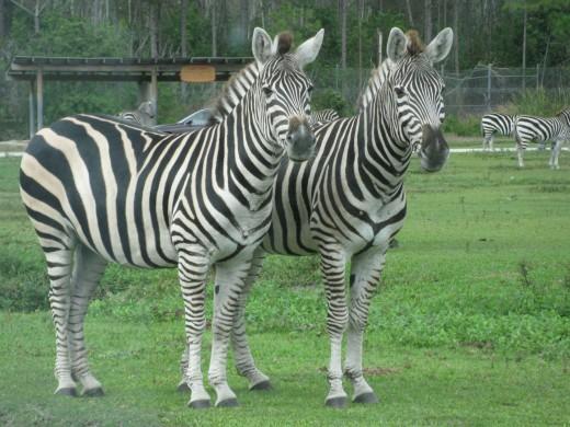Grant's Zebra - stripes are like fingerprints - no two are alike.