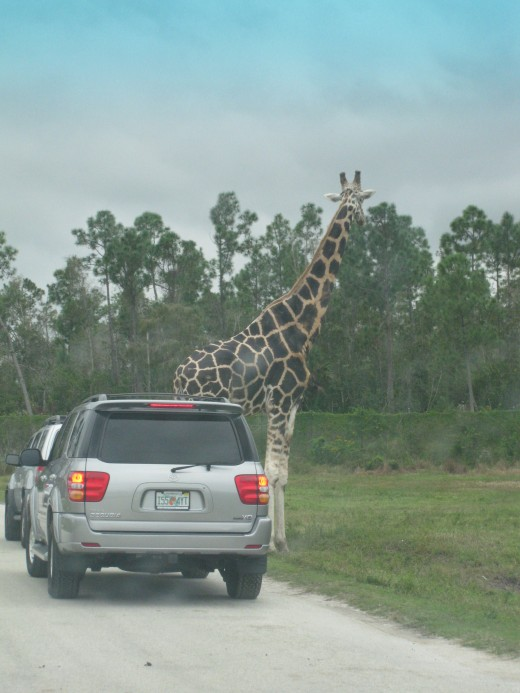 Giraffe - tallest land mammal - just check him out compared to the car!