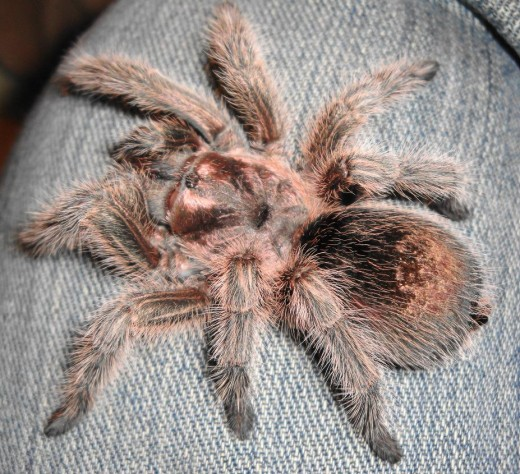 Chilean Rose RCF in Pre-Molt ... look at the black spot on the abdomen
