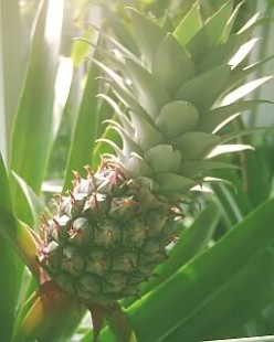 Growing tropical fruit like pineapples, kiwi fruit and bananas in Ely in Cardiff