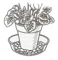 Cyclamen must be kept humid indoors, but do not spray. Stand pot in saucer with water, pebbles or gravel. Make sure pot base is clear of water.