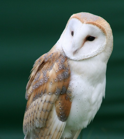 "BARN OWLS HAVE BEEN DESCRIBED AS THE "" GHOSTLY CUSTODIANS OF THE COUNTRYSIDE"" Picture by Stevie B"