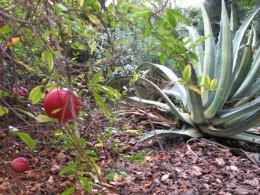 Pomegranites...