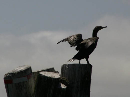 Cormorant    deedsphoto