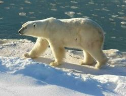 Arctic Travel, Past and Present - Polar Bear Tours