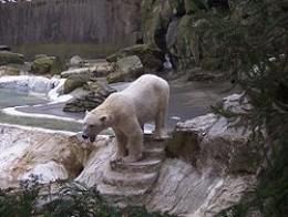 Polar Bear in a simulated Arctic environment - wikimedia.com