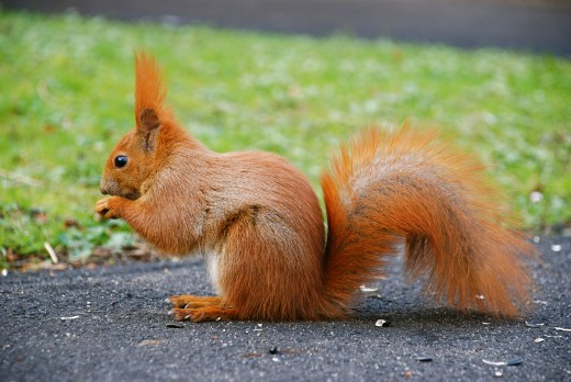 THE RED SQUIRREL SCIURUS VULGARIS. NOTE THE CHARACTERISTIC EAR TUFTS ABSENT IN THE LARGER GREY SQUIRREL. Photograph by Marek Rykiel