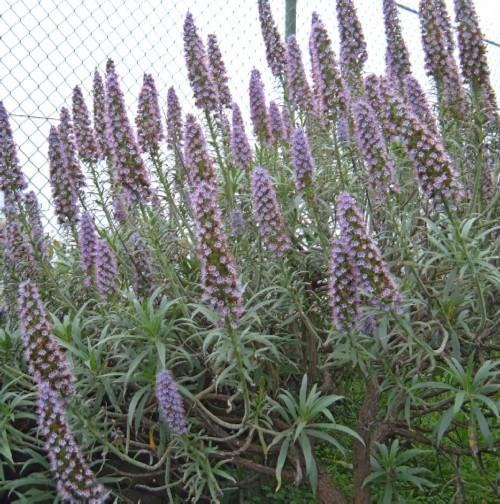 Echium virescens in Aguamansa