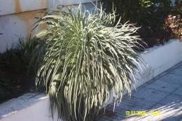 Echium wildpretii rosette