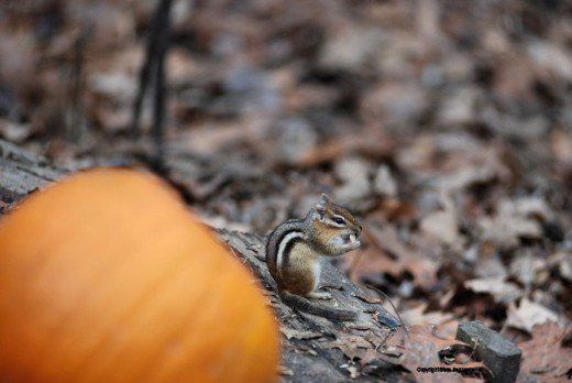 This chipmunk demonstrates how they eat ... both hands on the food like a human attack corn on the cob.