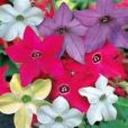 coloured nicotiana