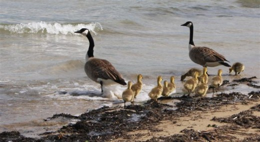 Canada Geese Family, Grosse Pointe, Michigan deedsphoto