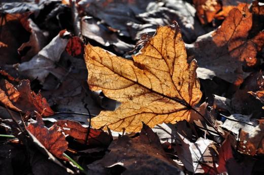 Noon light on a fallen leaf.