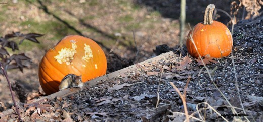 A chipmunk watches from below the feeders near a pumpkin they or squirrels have started to gnaw on.