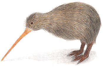 With its hairlike feathers, almost non existent wings, and excellent sense of smell, the kiwis are unlike any other birds.