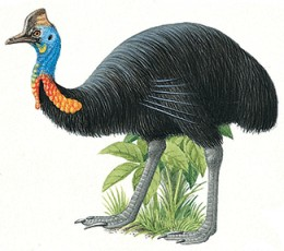 Cassowary is a large and flightless bird related to the emu and ostrich
