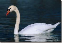 Swan facts Swans can live up to 25 years.They are vegetarians.Female swan is called a Pen.Baby swan is called cygnet.Group of swans is called a herd.