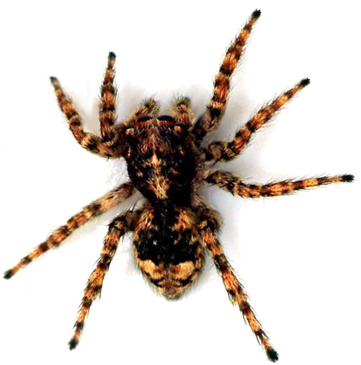 Spiders have forty-eight knees: 8 legs with six joints on each. The black widow spider is the most venomous spider. The spider silk is liquid until it hits the air