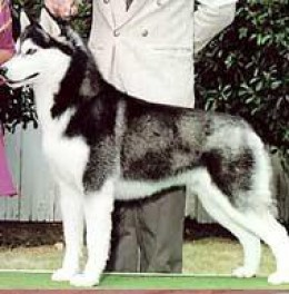 A Siberian showing correct conformation.