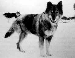 Togo, Leonhard Seppala's lead dog.
