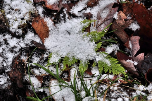 A fern in the swamp, still green because of the warmth of the oozing groundwater, is covered with pellets of snow.