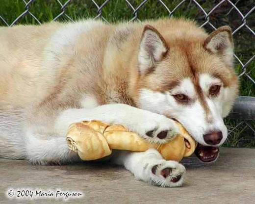 This is a Siberian Husky.  They LOVE bones!