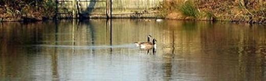 Duck Decoy (Photo Credit: Wikimedia Commons)